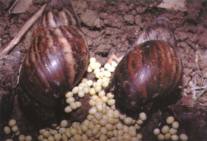 Ахатина и её яйца
