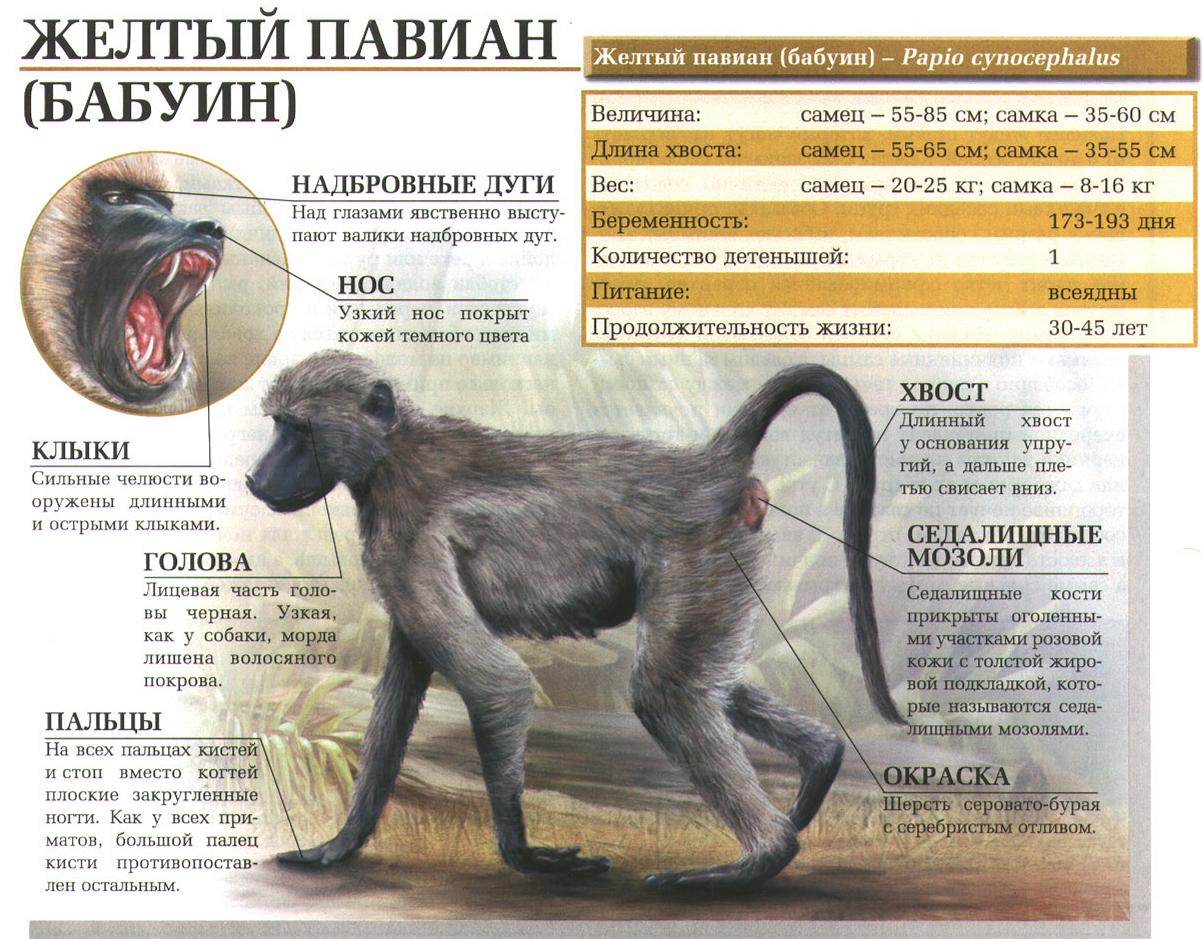 Бабуин (жёлтый павиан)