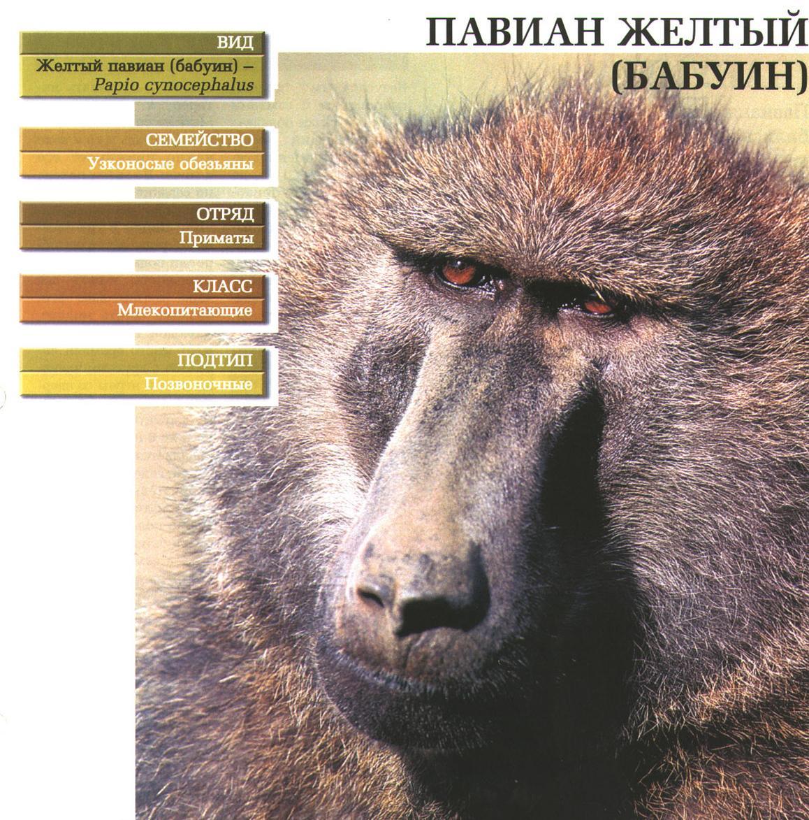 Бабуин (жёлтый павиан). Классификация.