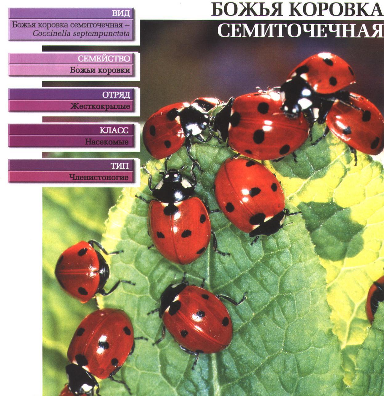 Ответы Mail.ru: От чего зависит количество черных точек у божьей ... | 1285x1247