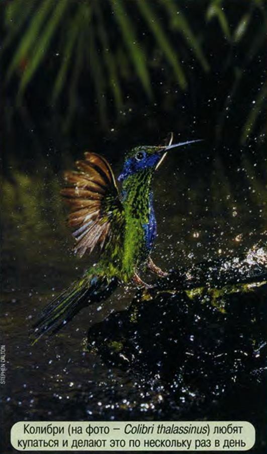 Колибри купается